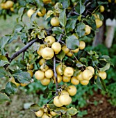 PYRUS PYRIFOLIA SHINKO, (ASIAN PEAR SHINKO)