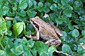 COMMON FROG, RANA TEMPORIA