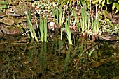 IRIS PSEUDACORUS (YELLOW WATER FLAG IRIS) ABOVE WATER IN APRIL