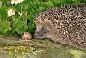 ERINACEUS EUROPEUS,  HEDGEHOG AND SNAIL