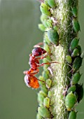 COMMON RED ANT,  MYRMICA RUBRA,  MILKING APHID