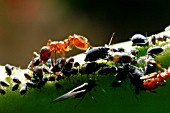 RED ANT,  MYRMICA RUBRA,  MILKING BLACK APHIDS