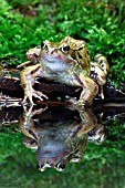 COMMON FROG (RANA ASPERA) REFLECTION AT POND EDGE