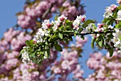 Malus floribunda (apple tree in blossom)