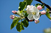Apple Jacques Lebel in bloom in orchard