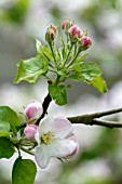 Apple tree flowers in a garden - France