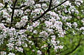 Apple tree in bloom in a garden - France
