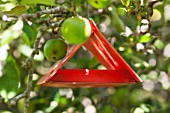 Pheromone trap on apple tree against codling moth