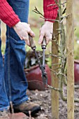 Winter prunning of an apple tree in a garden