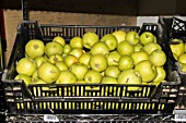 Apples prepared for sale to individuals. Lufa Farms. Montreal. Province of Quebec. Canada