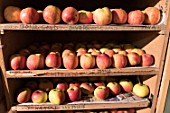 Crop of apple cultivars, stored in a fruit stand