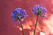 Agapanthus in front of an ochre wall in Provence - France