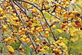 Flowering apple Golden Hornet (Malus x zumi)