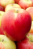 Apple Scifresh (Jazz Apple)
