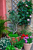 Young Olive tree in pot and flowers in Provence, France