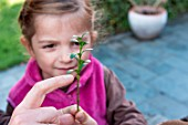 Little girl making a cutting from a Buxus, trimming cutting above node