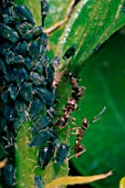 Black ants feeding on black aphids