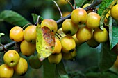 MALUS GOLDEN HORNET (CRAB APPLE)