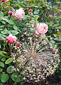 ALLIUM CHRISTOPHII SEED HEAD WITH ROSA BROTHER CADFAEL IN RAIN