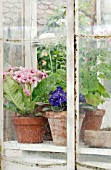 STREPTOCARPUS, SAINTPAULIA AND PELARGONIUMS IN OLD GREENHOUSE, VIEWED THROUGH GLASS.