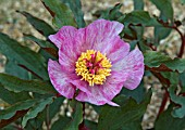 PAEONIA CAMBESSEDESII CLOSE UP OF FLOWER SHOWING UNUSUAL COLOUR FORM