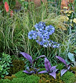AGAPANTHUS IN BORDER