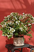 ABELIA GRANDIFLORA IN CONTAINER RED BACKGROUND