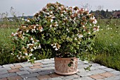 ABELIA GRANDIFLORA ON PATIO WITH NATURAL BACKGROUND