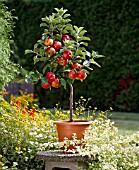 MALUS DOMESTICA DELGRINA, (APPLE TREE IN STANDARD FORM IN CONTAINER)