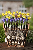 LAYERED BULBS (NARCISSUS AND CROCUS), LASAGNE METHOD OF PLANTING