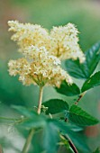 FILIPENDULA ULMARIA, MEADOW SWEET
