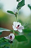 ALTHAEA OFFICINALIS, MARSH MALLOW