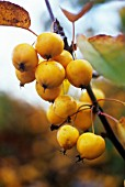 MALUS X ZUMI 'GOLDEN HORNET', CRAB APPLE