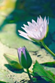 NYMPHAEA, WATER LILY