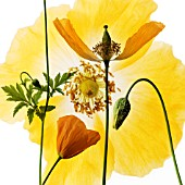 MECONOPSIS CAMBRICA, POPPY - WELSH POPPY