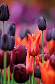 TULIPA, (MIXED TULIPS IN MAUVE, PURPLE, RED)