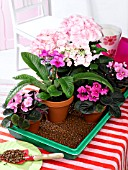 OVER THE WEEKEND: HOUSEPLANTS IN SMALL TRAY WITH WET EXPANDED CLAY GRANULES