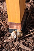 APPLYING COPPER TAPE TO LARGE VEGETABLE CONTAINER TO PREVENT SNAIL - HELIX ASPERA  AND SLUG DAMAGE