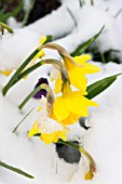 NARCISSUS TETE A TETE IN THE SNOW