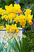 NARCISSUS TETE A TETE AND JETFIRE IN VINTAGE TIN