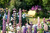 AQUILEGIA AND LUPINUS POLYPHYLLUS IN COTTAGE GARDEN
