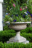 BUXUS SEMPERVIRENS, VIOLA, PANSY AND RANUNCULUS IN GARDEN URN