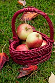 HAND PICKED ORGANIC PINOVA APPLES IN BASKET IN OCTOBER