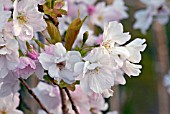 BLOSSOM OF PRUNUS AMANAGOWA