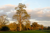 AUTUMN SUNLIGHT ON A ROBINIA PSEUDOACACIA AT OZLEWORTH PARK, GLOUCESTERSHIRE