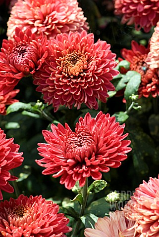 Chrysanthemum Red Myss Jem