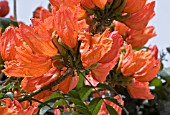SPATHODEA CAMPANULATA,  AFRICAN TULIP TREE,  FLAME OF THE FOREST