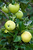 MALUS DOMESTICA GOLDEN NOBLE