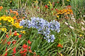 AGAPANTHUS LULY WITH CROCOSMIA WALBERTON  HELENIUM DIE BLONDE AND SANGUISORBA OFFICINALIS