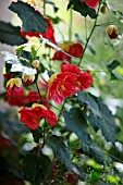 ABUTILON LINDA VISTA ROSE
